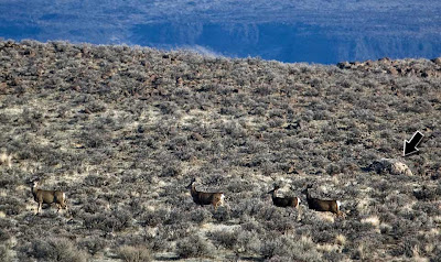 Ice Age Floods erratic boulder and mule deer.