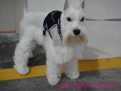 Adoption Miniature Schnauzer on White Miniature Schnauzer Who Passed ...