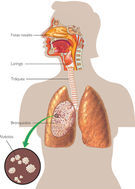 Embriologia sistema respiratorio - SlideShare