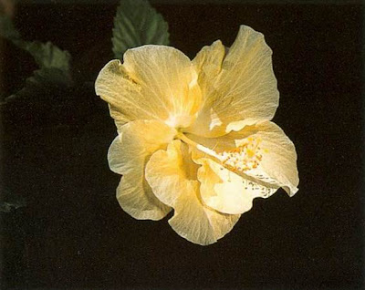 Blossom like a flower ananda chinese hibiscus hawaiian hibiscus rose of china small delicate single flower with soft slightly crinkled cream petals and a pure white centre mightylinksfo