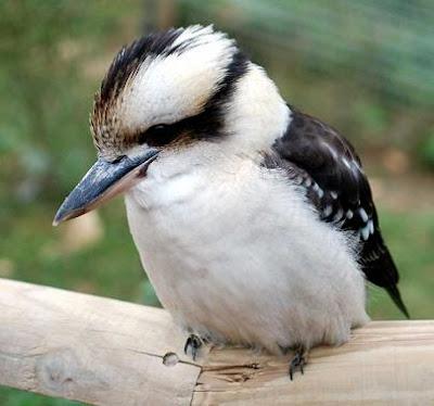 pajaro-kookaburra.jpg