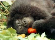[Image: Gorila+Tidur.png]