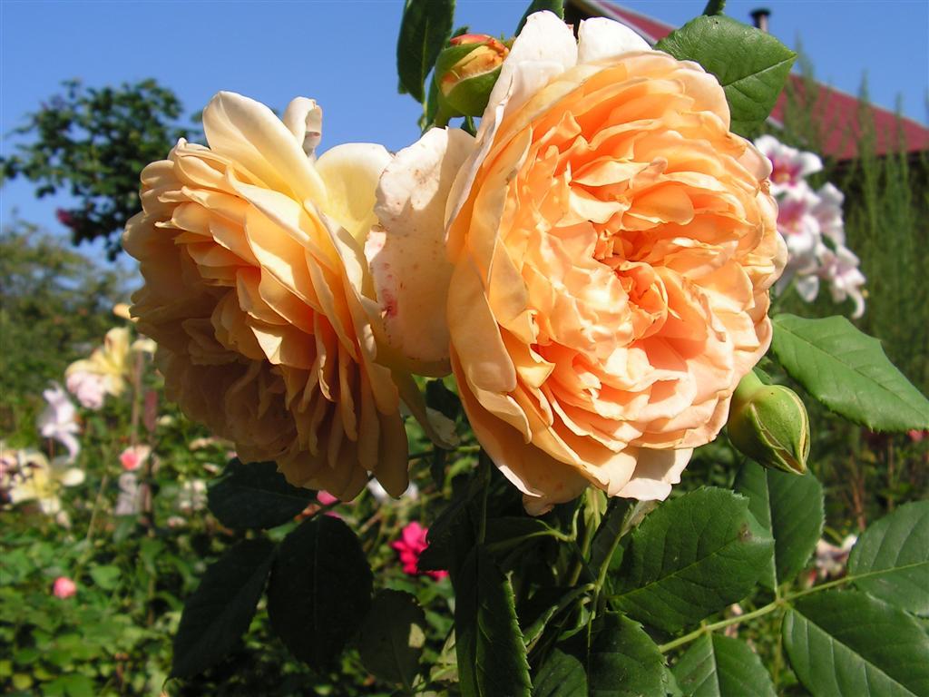 Роза английская выращивание и уход в 400