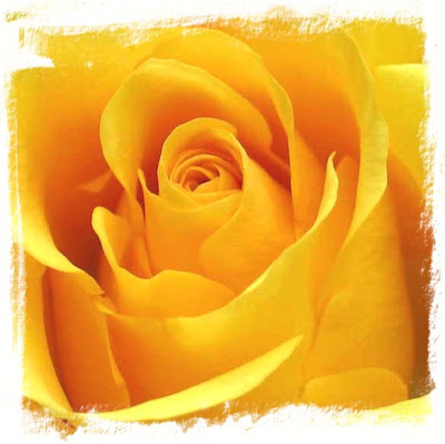 yellow roses pictures. Images Of Yellow Roses. of