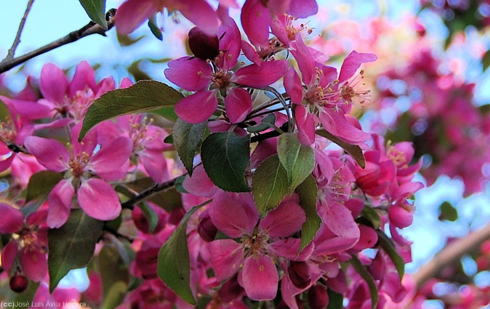 Paisajes de arboles rosas imagui - Arbol de rosas ...