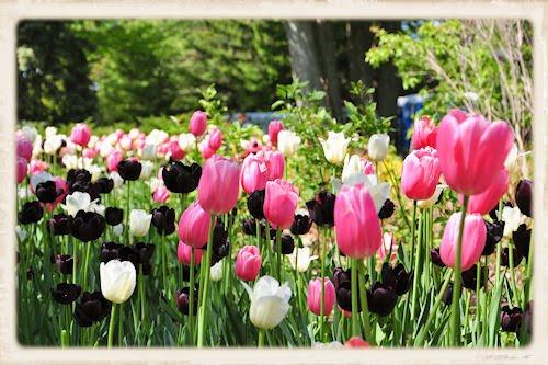 Festival canadiense de los tulipanes en Ottawa (37 fotos)