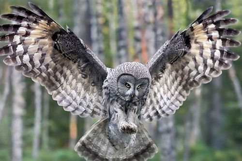 Búho del bosque (Owl Forest Bird)
