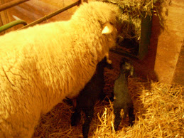 First Lambs 2010