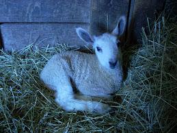 Icy's ewe lamb