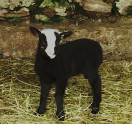 Shetland Ewe Lamb