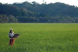Kiamba Rice Field