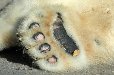 Polar Bear's Tale: Polar bear paw rings