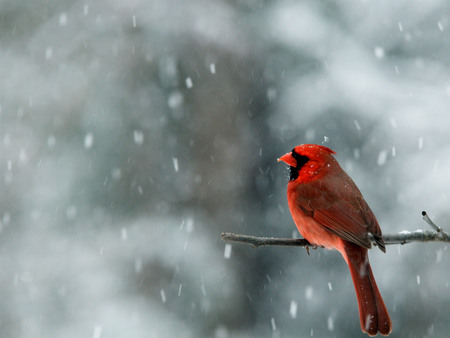 puppies in snow wallpaper. Cardinal in snow wallpaper