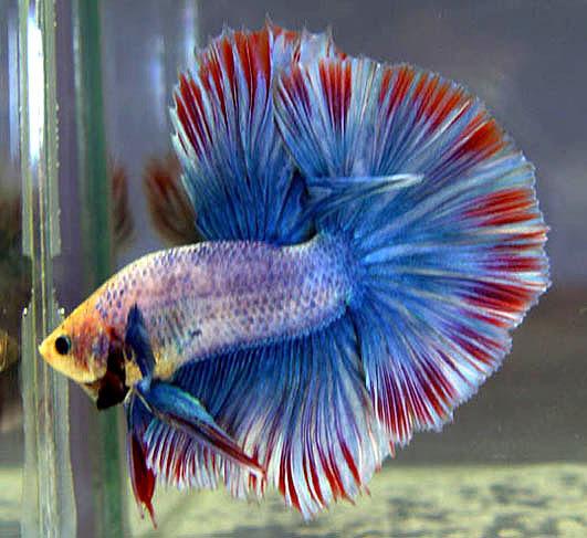 My beautiful pets breeding betta fish why betta fish for Why do betta fish fight