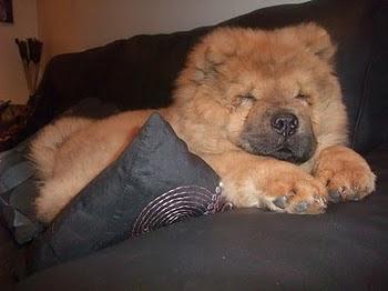 huge dog that looks like a bear