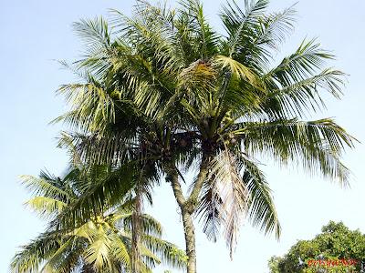 Pohon Kelapa Unik Kelapa Bercabang Dua