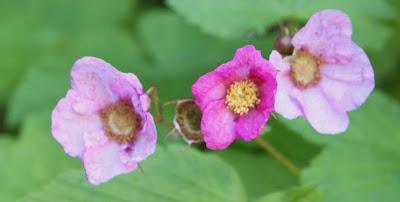 rosenhallon rubus odoratus