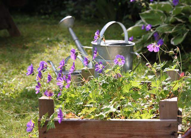 näva geranium jolly bee rozanne blå