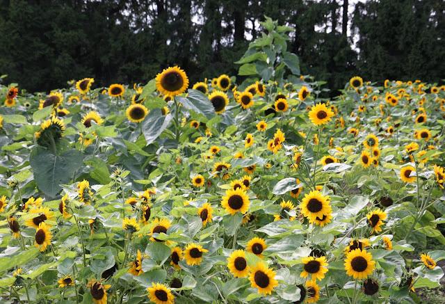 solrosor solros självplock sommarblommor trädgård inspiration