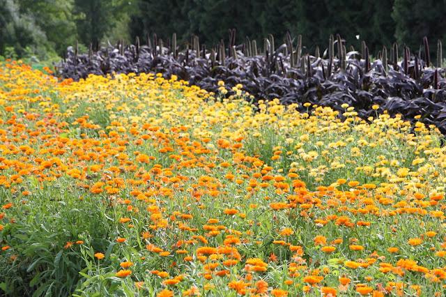 orange ringblommor sommarblommor självplock