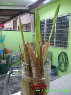 organic lemongrass stalks