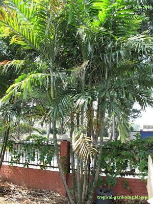 Palm tree Ptychosperma macarthurii