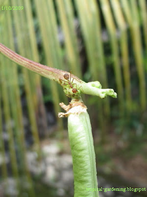 fire ant on yard-long bean malaysia