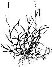 zoysia matrella