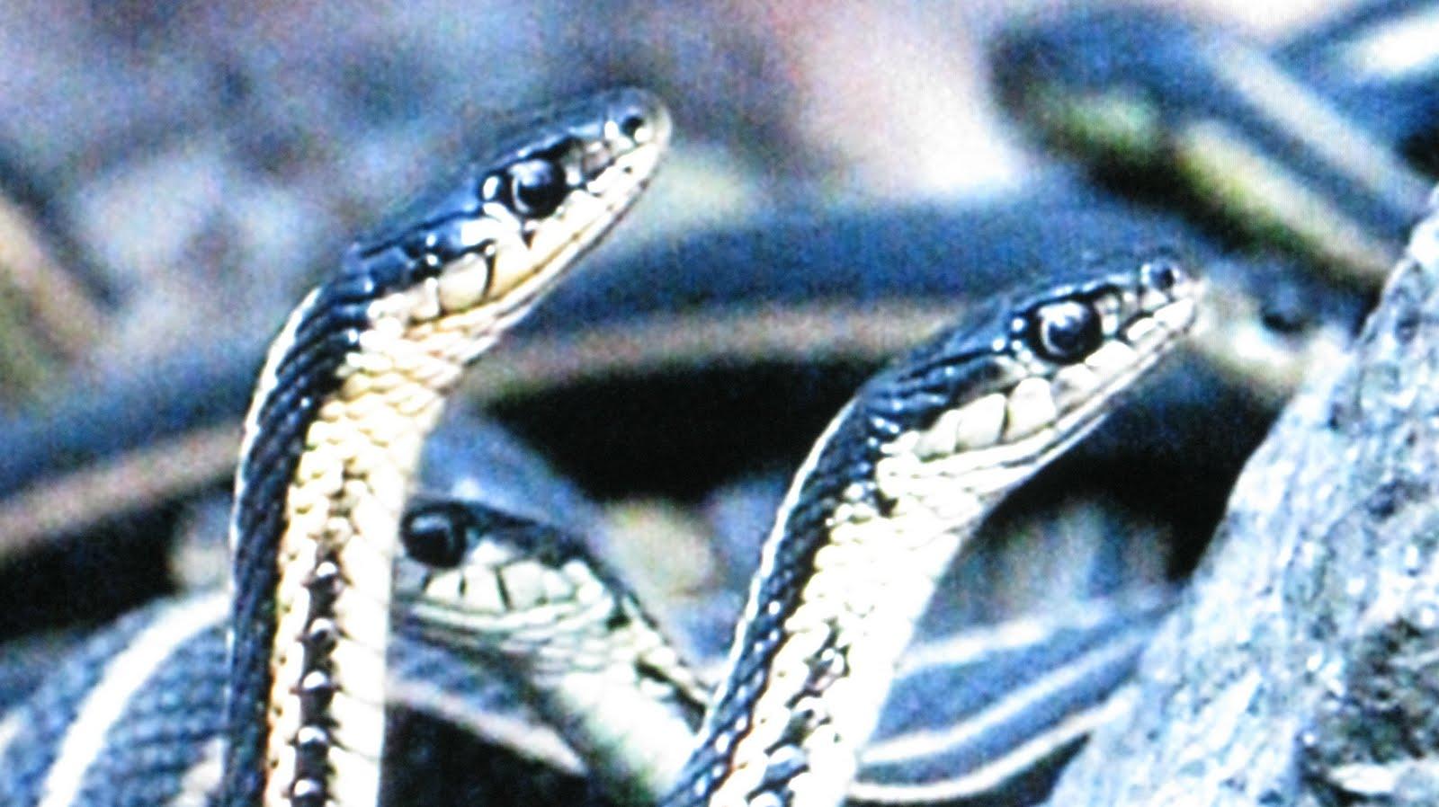 http://1.bp.blogspot.com/_Eco7TB0Jqvc/TFpw1g1Kv3I/AAAAAAAABj0/pVzpY3BMBqQ/s1600/snake+head+2.jpg