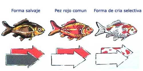 Mi acuario goldfish historia del goldfish for Criadero de peces goldfish