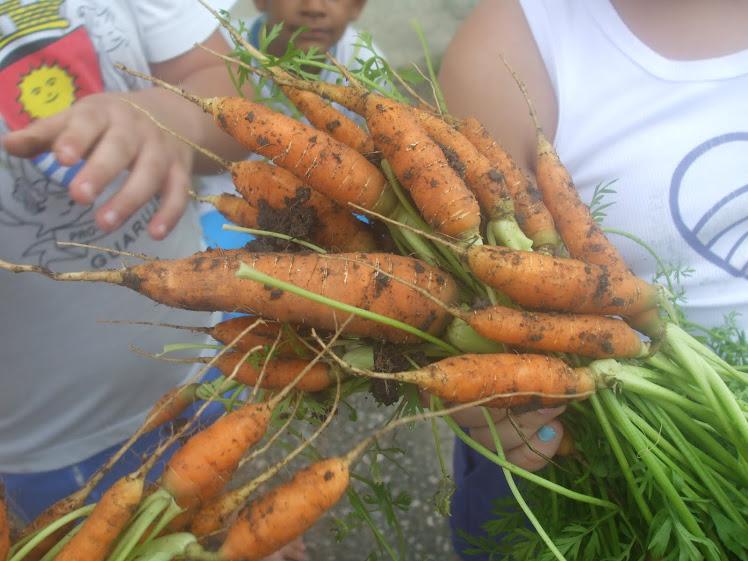 Colheita das Cenouras - 02-12-10