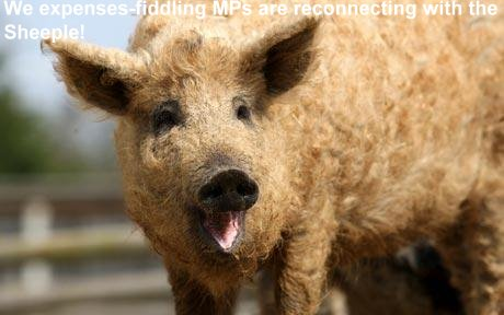 svin og griser