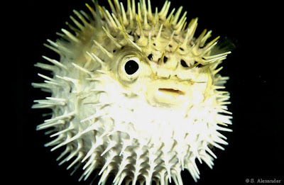 Researching different types of fish how do puffer fish for Puffer fish puffing