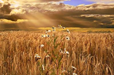 Sun Ripe Corn by Derek Smith