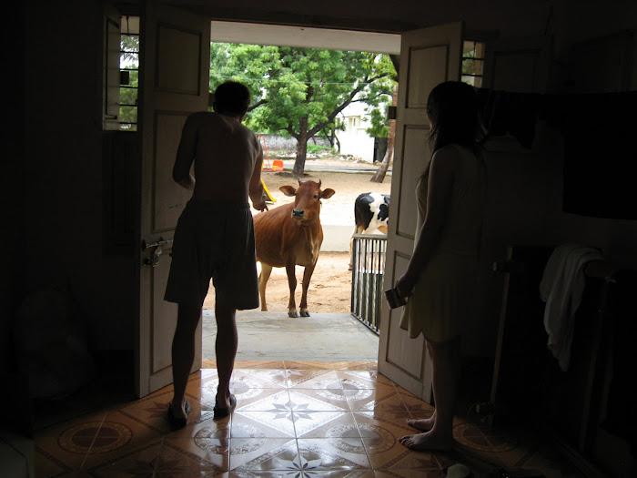 Die Kühe stürmen unser Heim