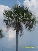 palmy tree