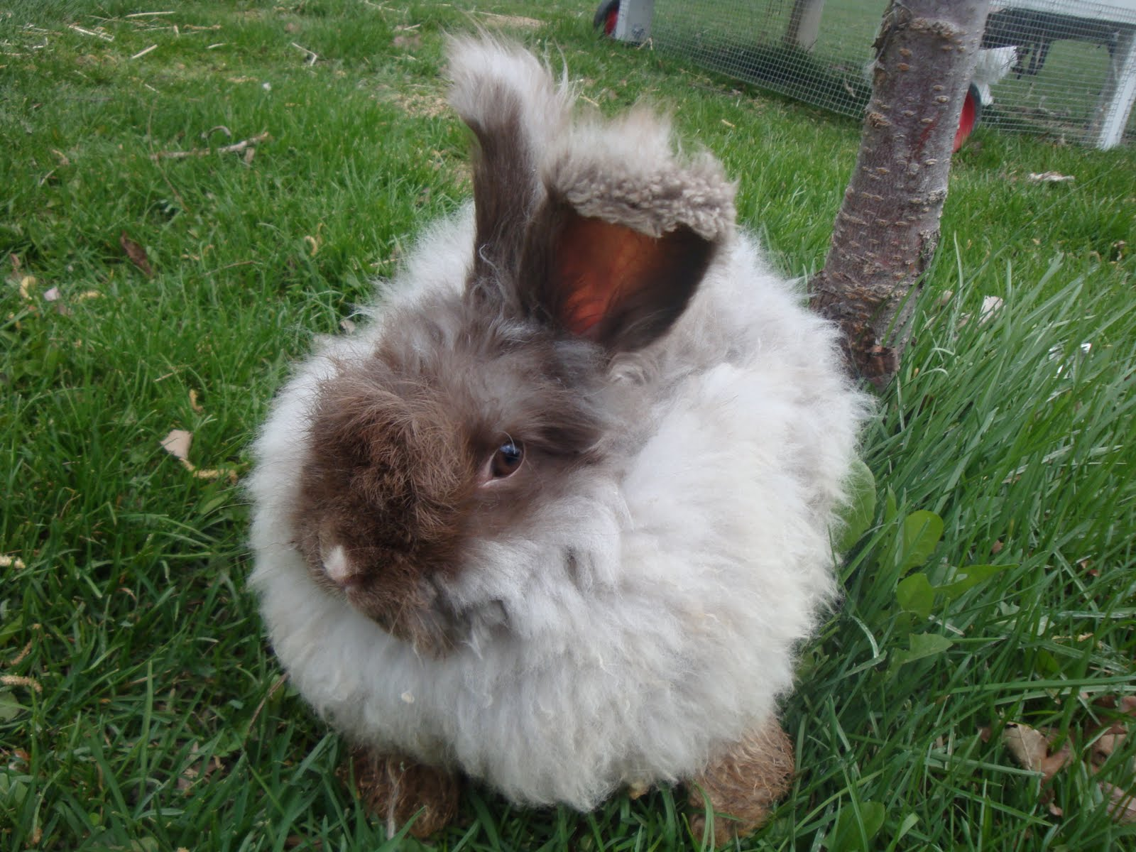 Tail Spin Farm Shop: English Angora Rabbits For Sale