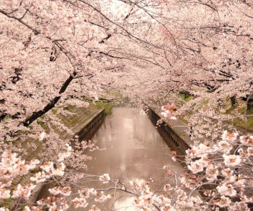 dreaming...of cherry blossoms