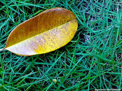leaves, fall, yellow, grass, photography, macro, nature, art, camera, sony ericsson, jaypee david, enjayneer, bangis, holy angel university, iecep, ece