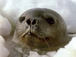 As focas são livres e inocentes!