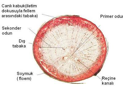 Resim 2 .3: Çamın olgun kökünün enine kesitinin mikroskopta