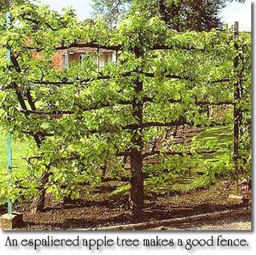 Urban food producer growing fruit trees in small spaces - Fruit trees in small spaces decoration ...