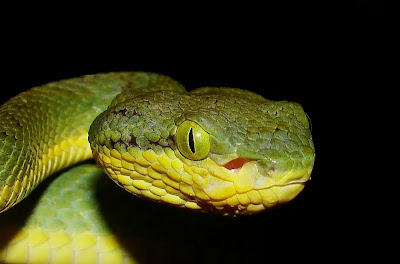 Vertical eyeslit of a Bamboo Pit Viper gives it a sinis
