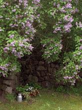 blommande syrener