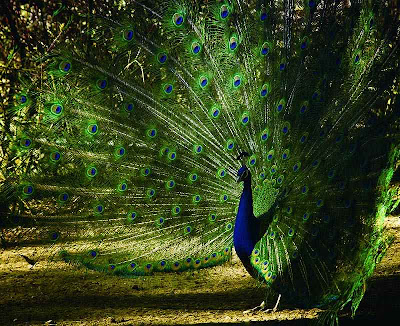 peacock photography