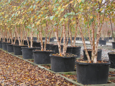 ... Landscape Contractors That Are Looking For Consistency And Quality In  Large, Containerized Trees, Look To Casey Nursery In Goldsboro, North  Carolina.