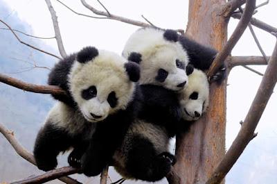 Terremoto en China crea molestias a pandas Fot-hoy3
