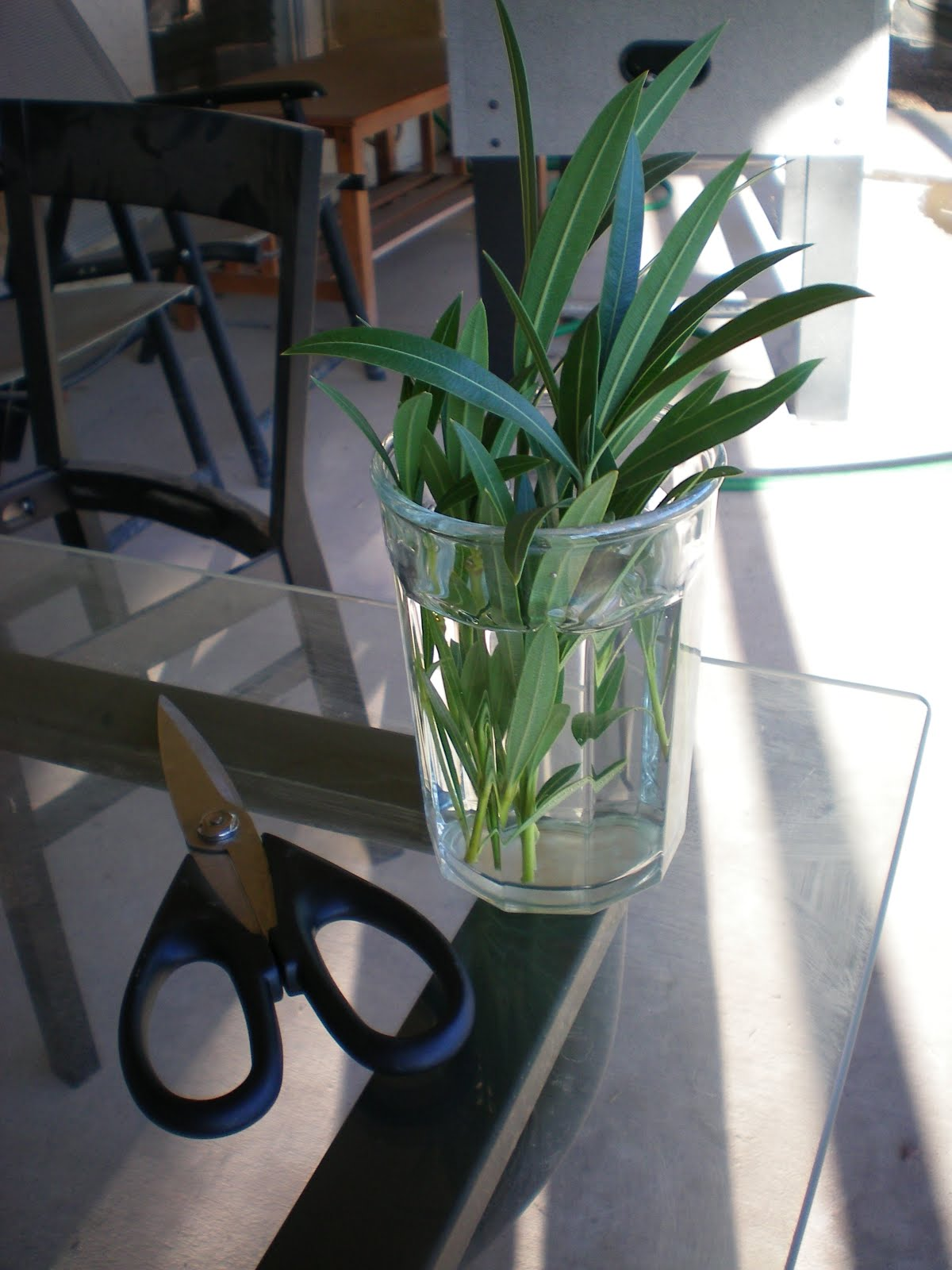 Hesselblogger how to grow a new oleander plant after several days you should start to see little white roots growing from cut end of the clippings be patient with this part for the first week or so you reviewsmspy