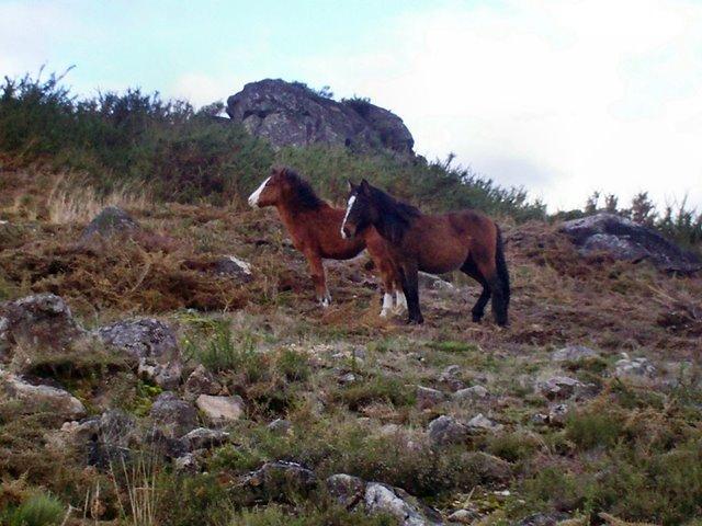 Cavalos selvagens - Ponte da Barca