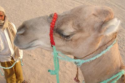 Dromedario o camello africano